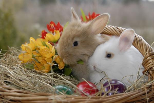 Cómo saber si un conejo es enano - El peso del conejo enano o toy