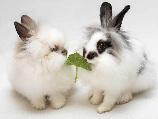 Cómo saber si un conejo es enano - Otras características físicas del conejo enano