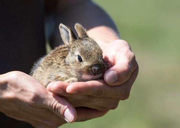 Cómo saber si un conejo es enano - El tamaño del conejo enano