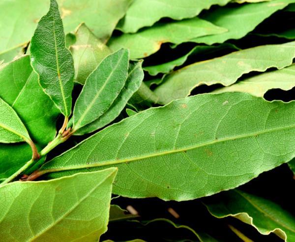 Remedios caseros para la tos de pecho - muy efectivos - Hojas de laurel o tomillo para la tos de pecho