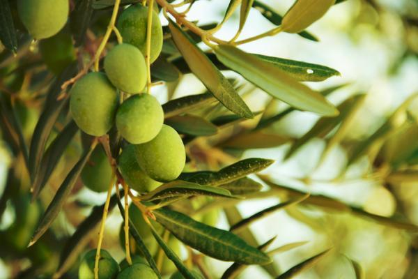 Propiedades y contraindicaciones de las hojas de olivo - Contraindicaciones y efectos secundarios del olivo