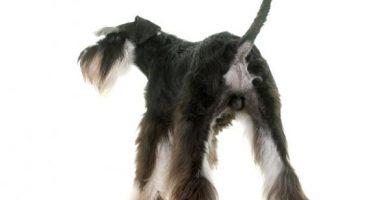 Causas y tratamiento de las glándulas anales inflamadas en perros