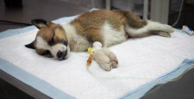 Cuánto dura el parvovirus en un perro