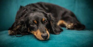 Cúrcuma para perros - beneficios y dosis
