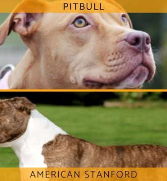 Diferencia entre pitbull y american stanford