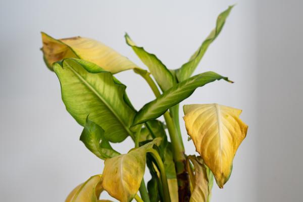 Hojas amarillas en las plantas: qué significan y soluciones