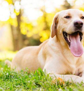 Levadura de cerveza para perros - beneficios y dosis