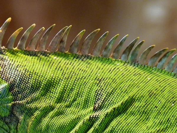 Por qué mi iguana tiene manchas negras - conoce las causas
