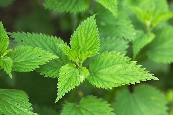 Propiedades medicinales de la ortiga verde