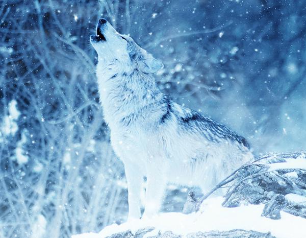 Qué significa el lobo como animal de poder
