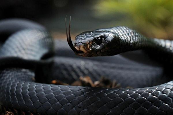 Qué significa soñar con serpientes negras