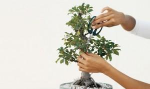 Cómo trasplantar un bonsái - Pasos claves para trasplantar un bonsái