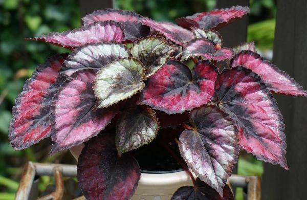 Las mejores plantas para un terrario - Begonia rex