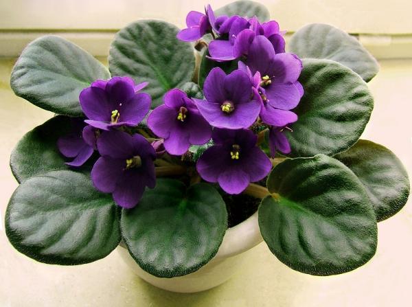 Las mejores plantas para un terrario - Saintpaulia o violeta africana