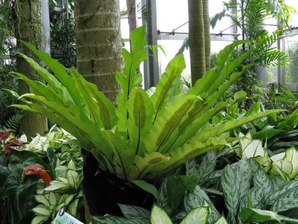 Las mejores plantas para un terrario - Helecho nido de ave