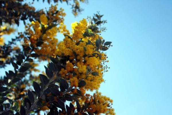 Tipos de árboles para un jardín pequeño - Mimosa