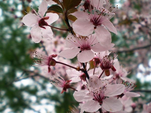 Tipos de árboles para un jardín pequeño - Ciruelo japonés