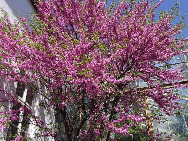 Tipos de árboles para un jardín pequeño - Árbol del amor