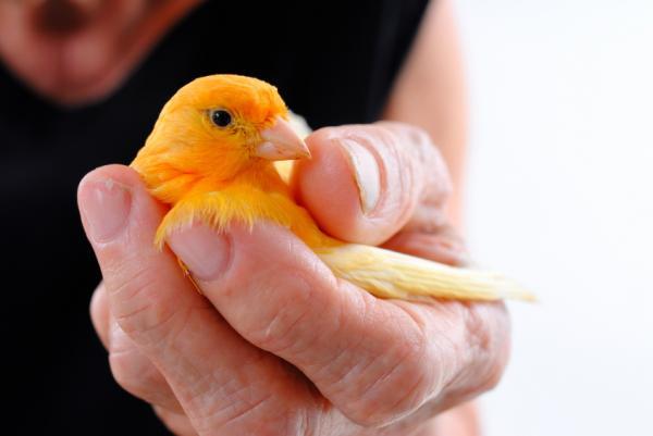 Cómo curar una pata rota a un canario - Paso 2