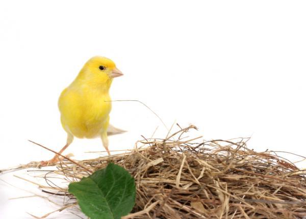 Cómo curar una pata rota a un canario - Paso 4