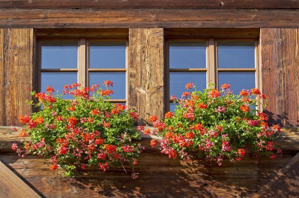 Cómo plantar geranios - Cómo cuidar los geranios