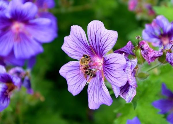 Cómo plantar geranios - Plagas y enfermedades de los geranios