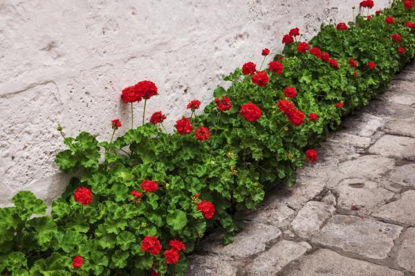 Cómo plantar geranios - Cuándo plantar geranios