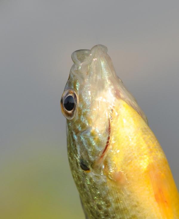 Cómo respiran los peces - Las branquias de los peces