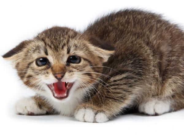 Cómo alargar la vida de un gato - El estrés en los gatos