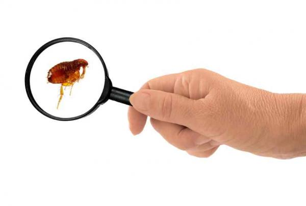 Cómo saber si mi gato tiene alergia a las pulgas - Paso 1