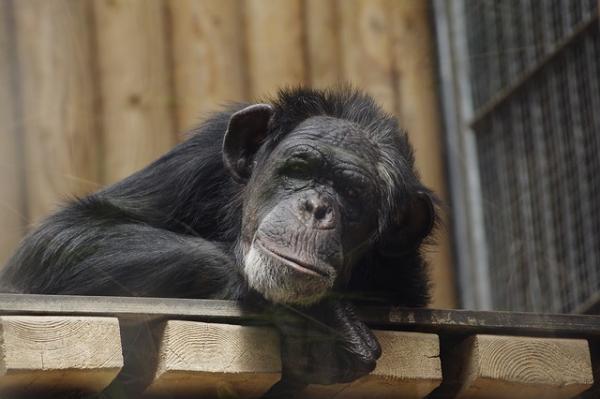Cuál es el animal más inteligente del mundo - El chimpancé, el hermano del ser humano