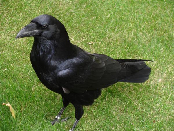 Cuál es el animal más inteligente del mundo - El ave más inteligente: el cuervo