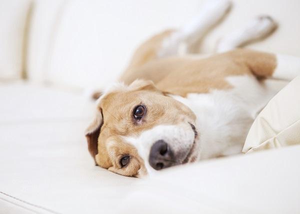 Por qué mi perro tiene arcadas - Paso 1