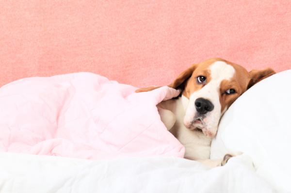 Cómo tratar la hepatozoonosis canina - Paso 2
