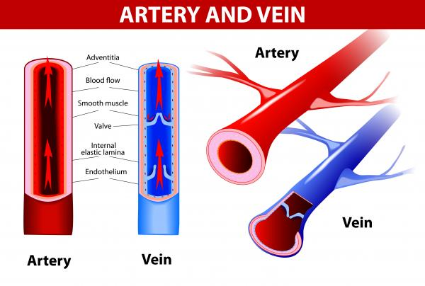 Función de las arterias - ¿Qué son las arterias?