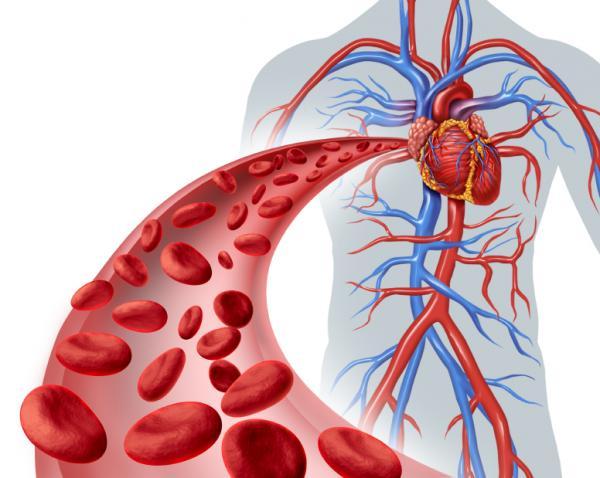 Función de las arterias - ¿Cuáles son las funciones de las arterias?