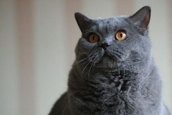 Cómo saber la raza de mi gato - Paso 4