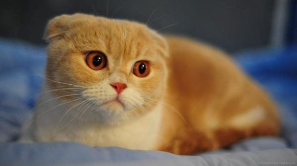Cómo saber la raza de mi gato - Paso 2