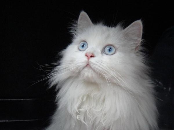Cómo saber la raza de mi gato - Paso 8