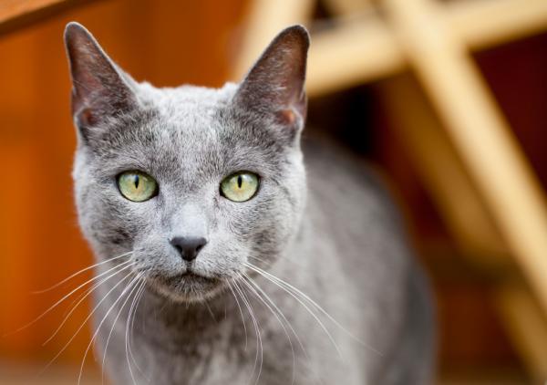 Cómo saber la raza de mi gato - Paso 6
