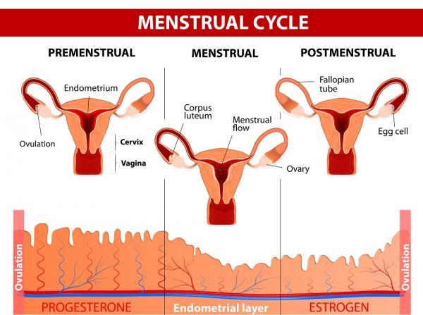 Por qué mi regla es muy abundante - Ciclos menstruales sin ovulación, la causa más común