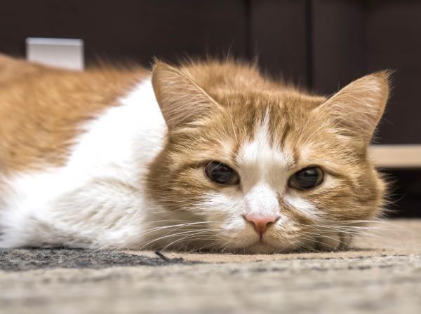 Cómo tratar la Enfermedad de Lyme en gatos - Causas de la enfermedad de Lyme