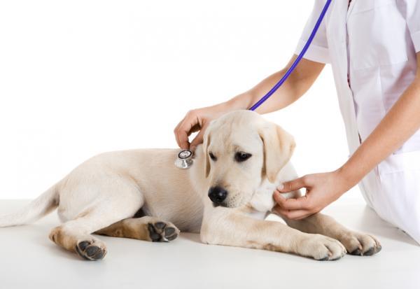 Cómo saber si mi perro tiene alergia al pienso - Diagnóstico y tratamiento de las alergias alimentarias en el perro