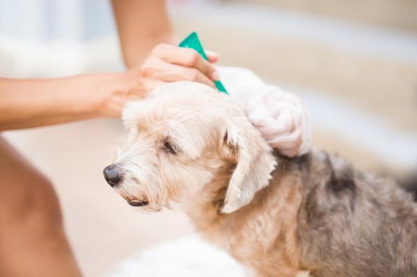 Cómo saber si mi perro tiene alergia a las pulgas - Paso 4