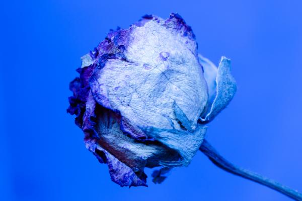 Cómo cultivar rosas azules - Paso 1