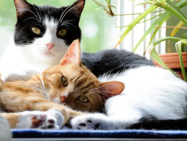 Beneficios de esterilizar a mi gato - Beneficios de esterilizar a un gato para su salud