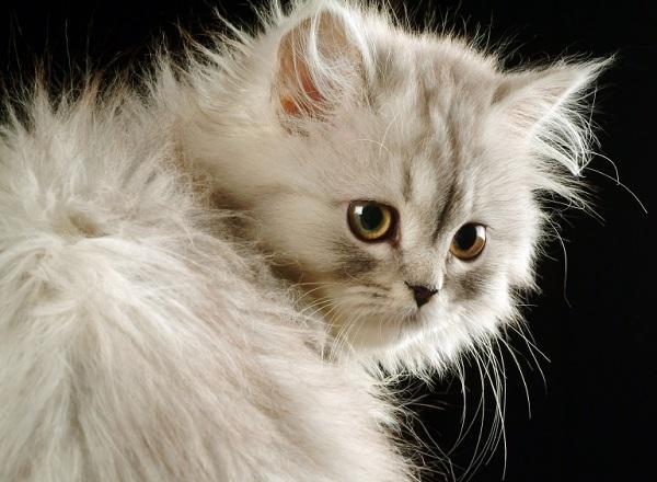 Beneficios de esterilizar a mi gato - Cuándo esterilizar a un gato