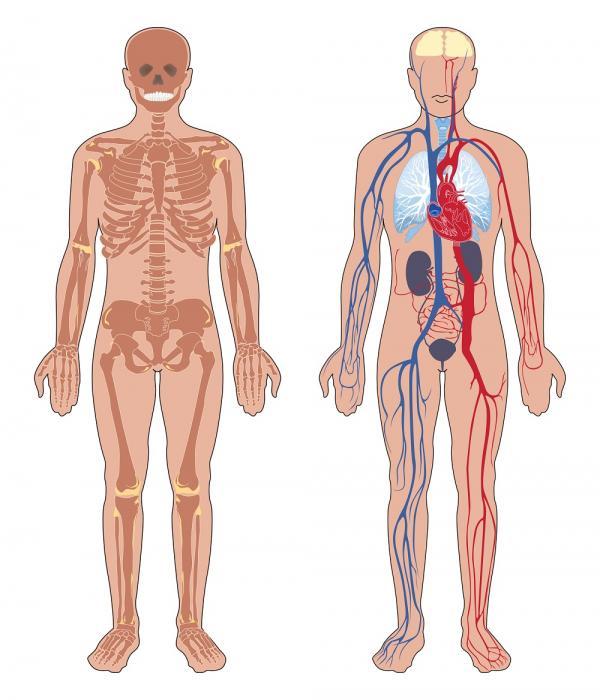 Cuántos órganos tiene el cuerpo humano - ¿Cuántos órganos tenemos?