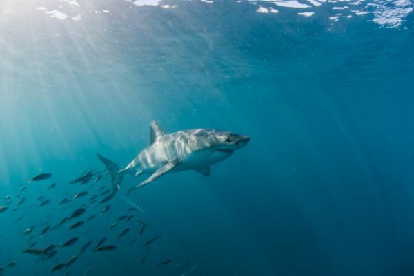Cómo se llama la hembra del tiburón - Curiosidades sobre los tiburones