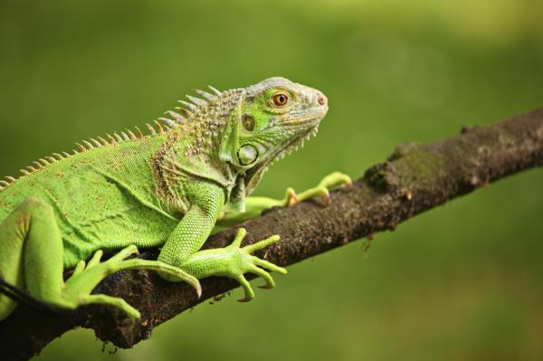 Cómo cuidar una iguana - Paso 4